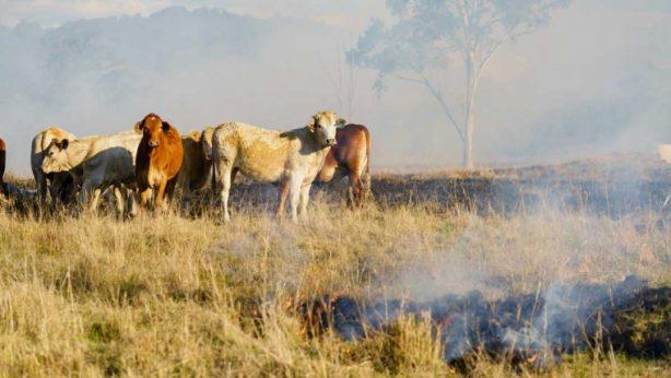 Cows standing in field in Australia